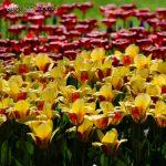 La sinfonia dei tulipani in Olanda: visitare il Keukenhof