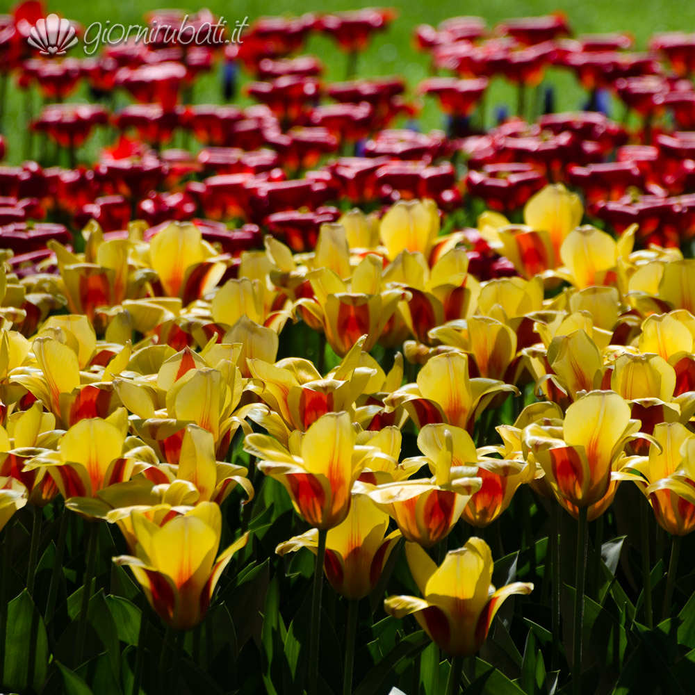 La sinfonia dei tulipani in olanda visitare il keukenhof for Tulipani arancioni