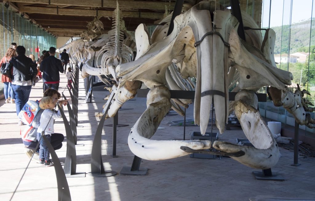 Calci-galleria-cetacei