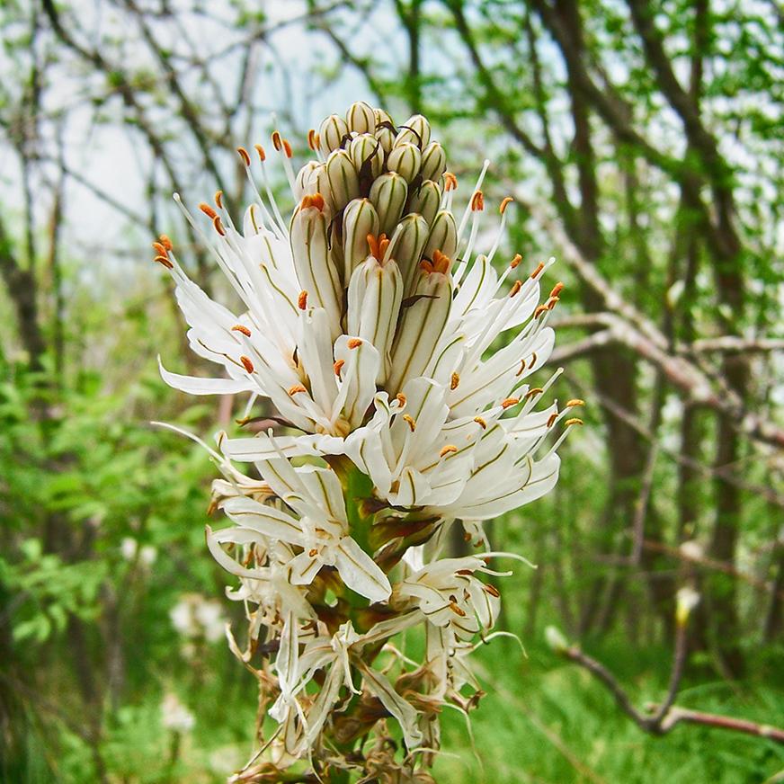 La fioritura delle giunchiglie ai prati di Logarghena
