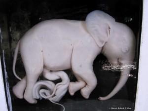 Maputo, museo etnografico, feto di elefante