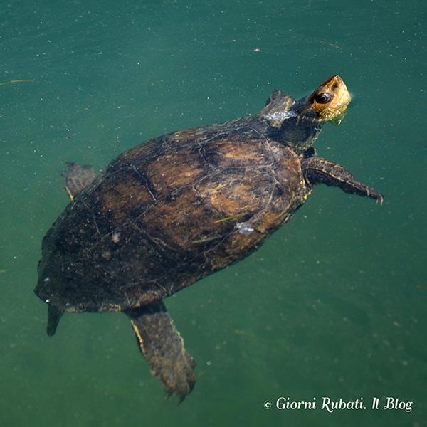 Lago Kournas, tartaruga