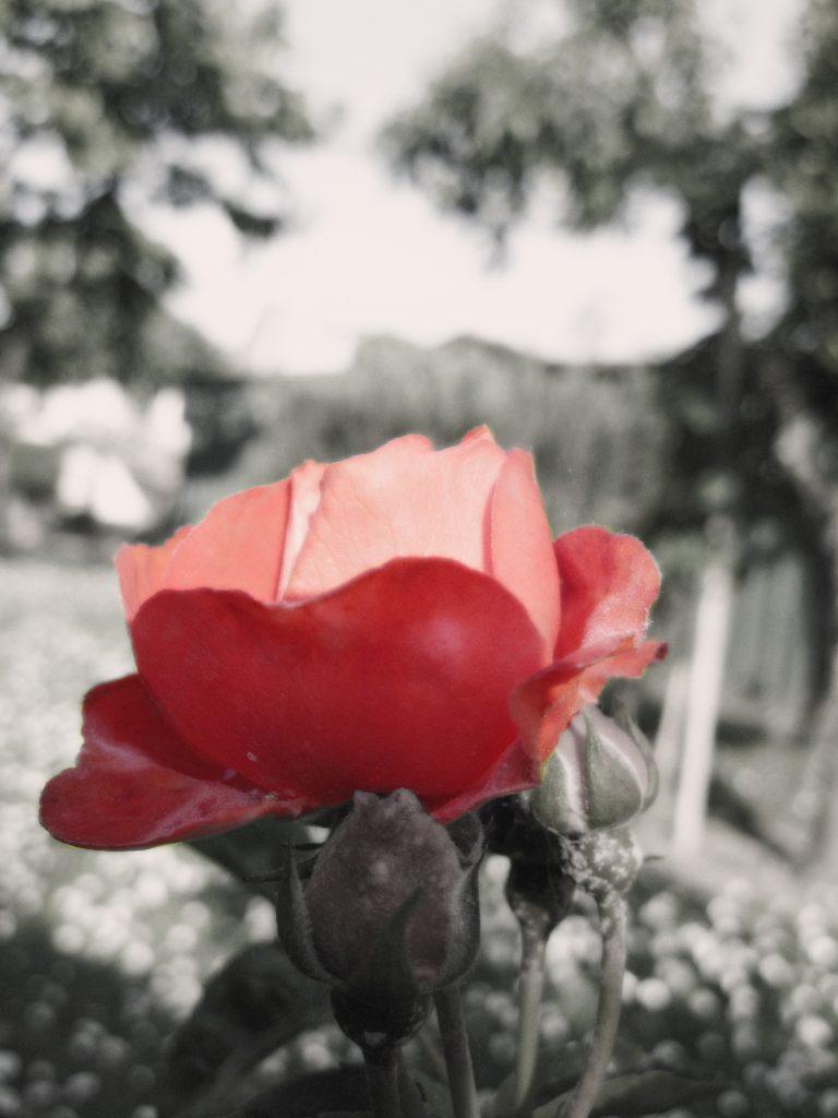 Una rosa del mio giardino