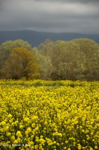 campi in fiore della tenuta di marinella, SP
