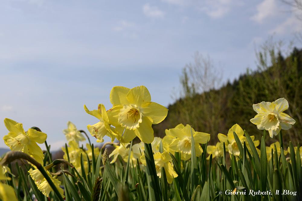 Il Festival dei Narcisi di Villa Pescigola (MS): lo spettacolo della primavera