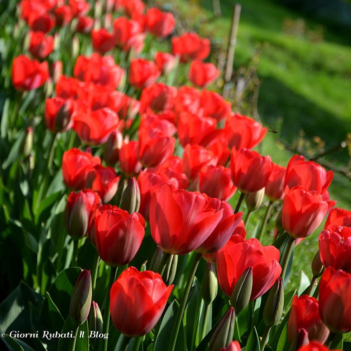 tulipani, Villa La Pescigola (MS)