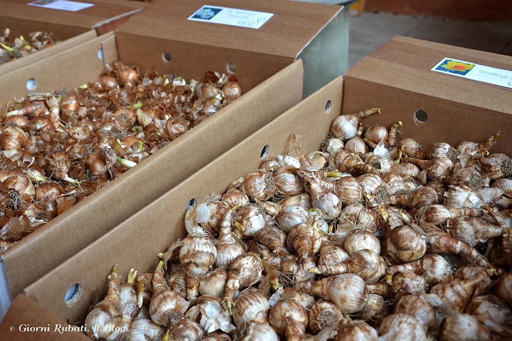bulbi in vendita, Villa La Pescigola (MS)