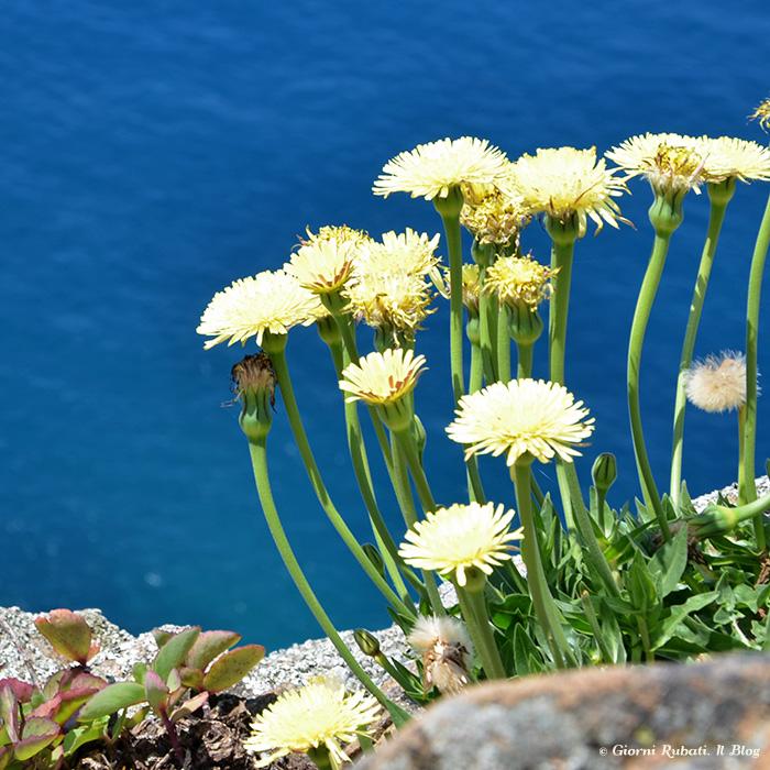 A precipizio sul mare...fiori giallo sole