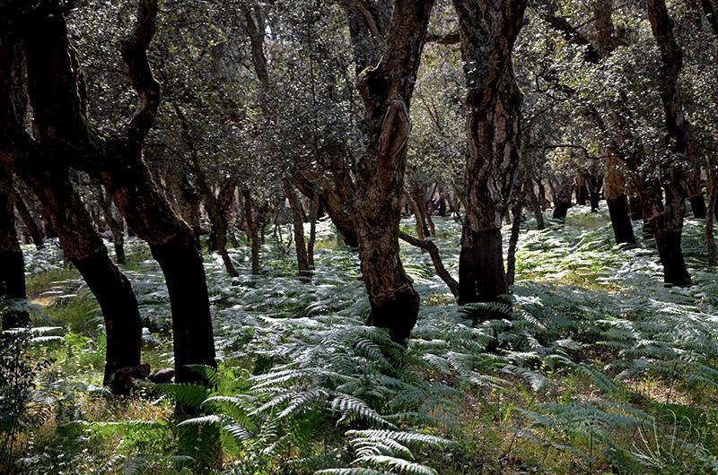 Su Romanzesu, Bitti: foresta di Sughere