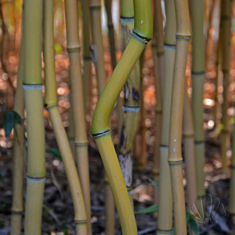 Un'altra specie di bambù per appassionati botanici al Labirinto della Masone, Fontanellato (Parma)