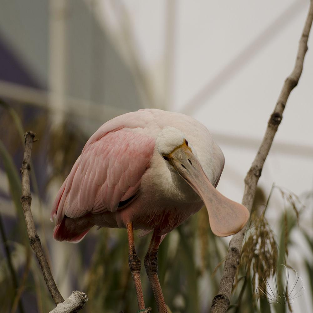 Oceanografìc, Valencia: uccello spatola