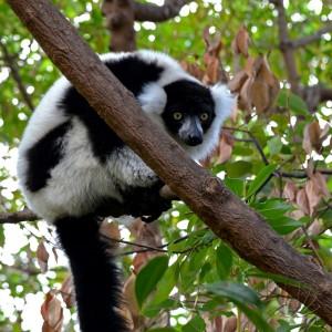 Bioparc, Valencia: un bellissimo lemure accoglie i visitatori