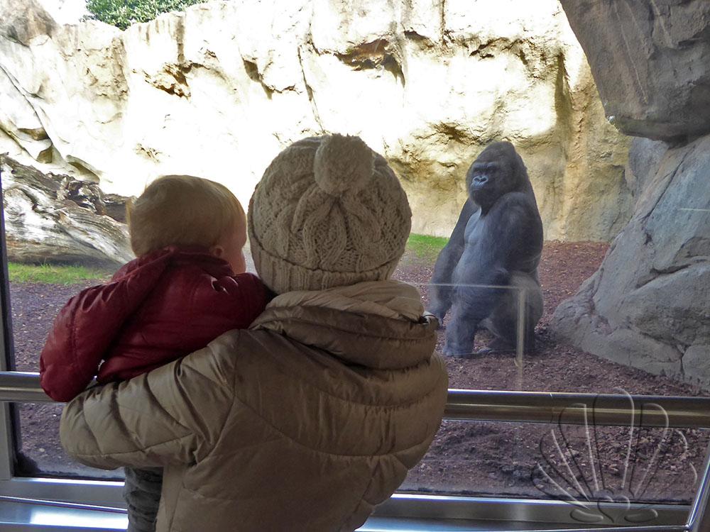 Bioparc, Valencia: gorilla