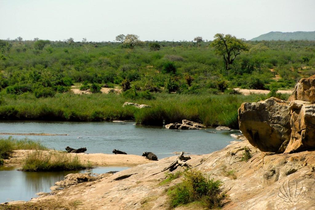 bufali al fiume