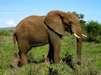 Nel bush si scorgono tantissimi elefanti. Kruger National Park, Sudafrica