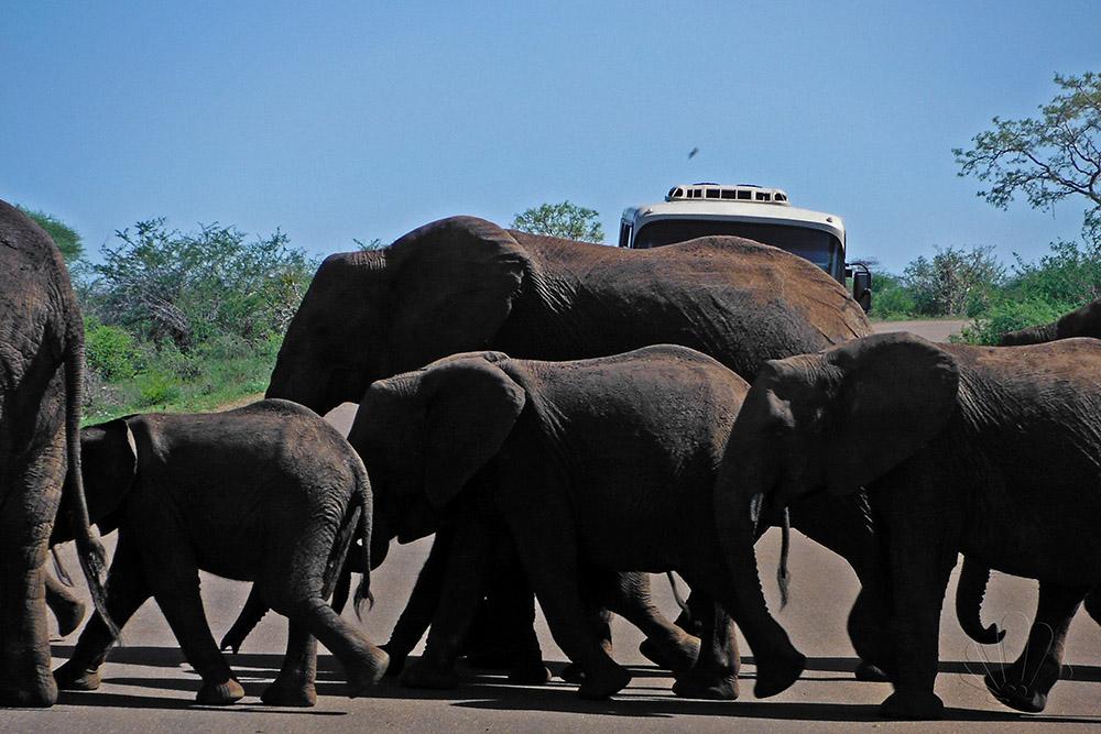 Kruger National Park, Sudafrica: elefanti attraversano la strada