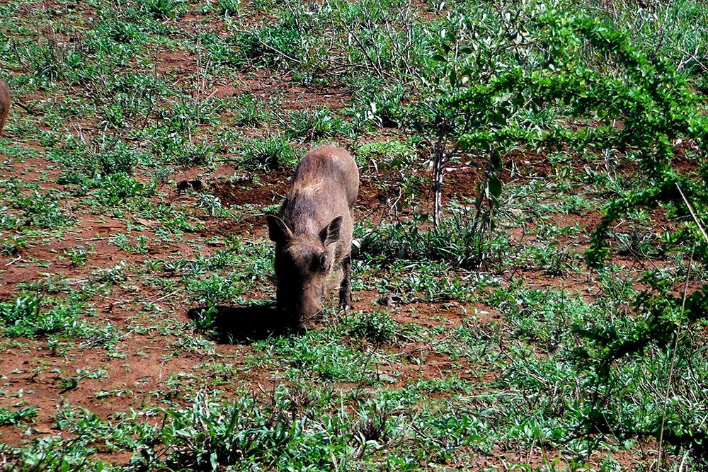 Un simpatico facocero al Kruger National park