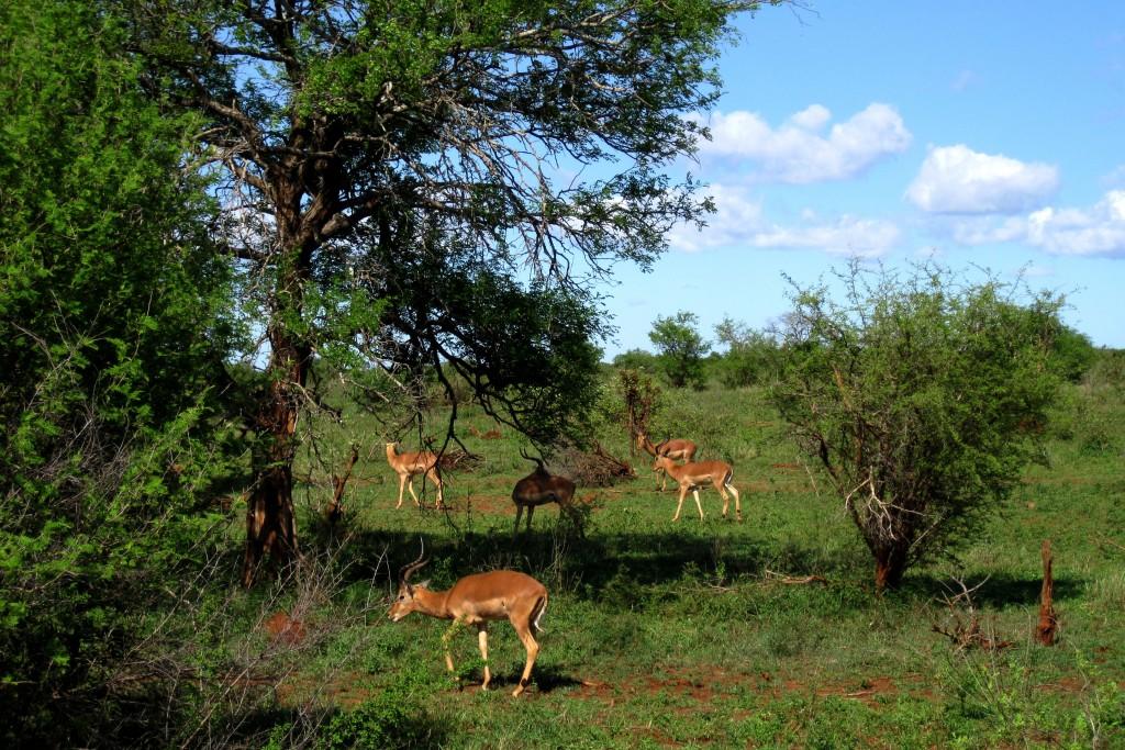 Uno degli incontri più comuni al Kruger è quello con gli impala