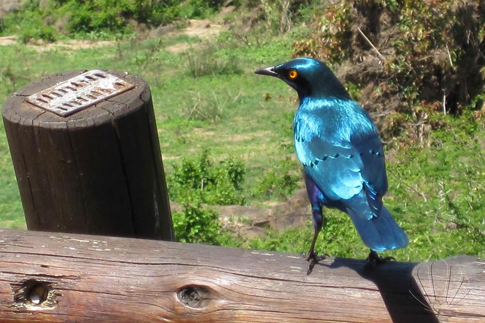 Questo splendido uccellino azzurro si trovava nell'area ristoro. kruger National Park, Sudafrica