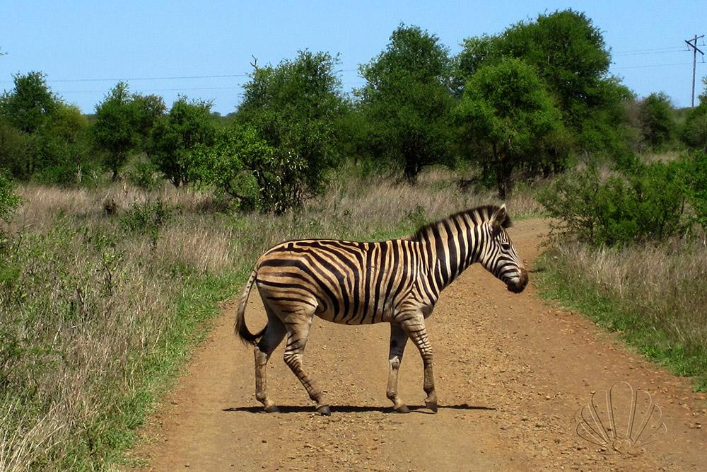 Kruger National Park, Sudafrica: una zebra