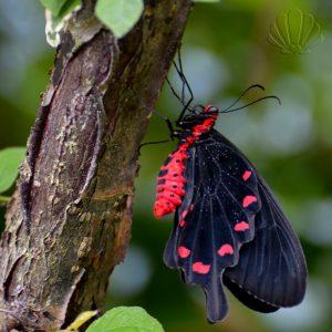Ancora farfalle nella Butterfly House di Villa Garzoni