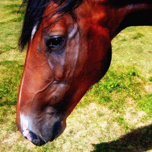 Uno dei tanti cavalli che si incontrano nella conca del Prataccio
