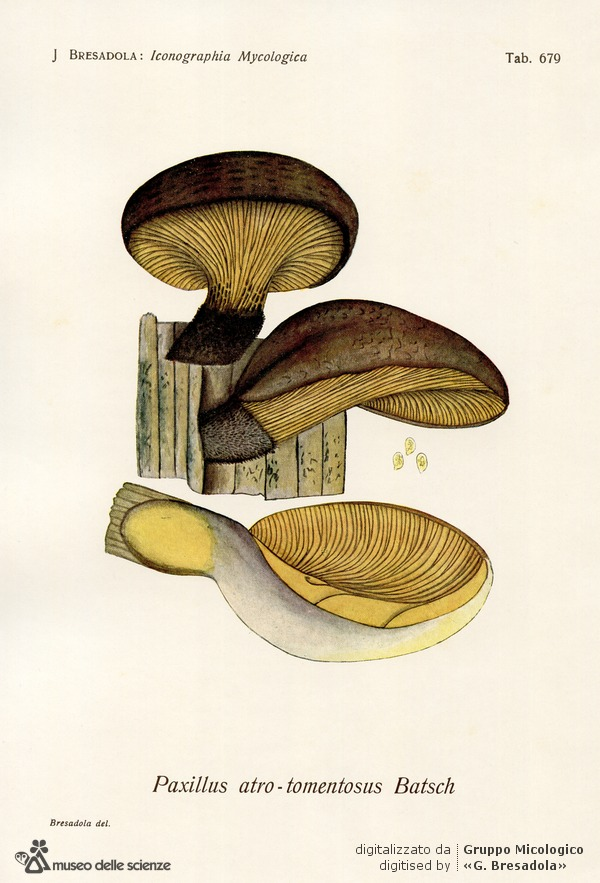 iconographia-micologica