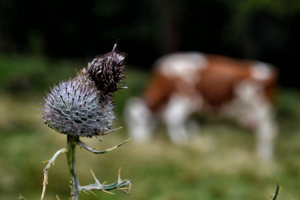 vacche-malga-dimaro