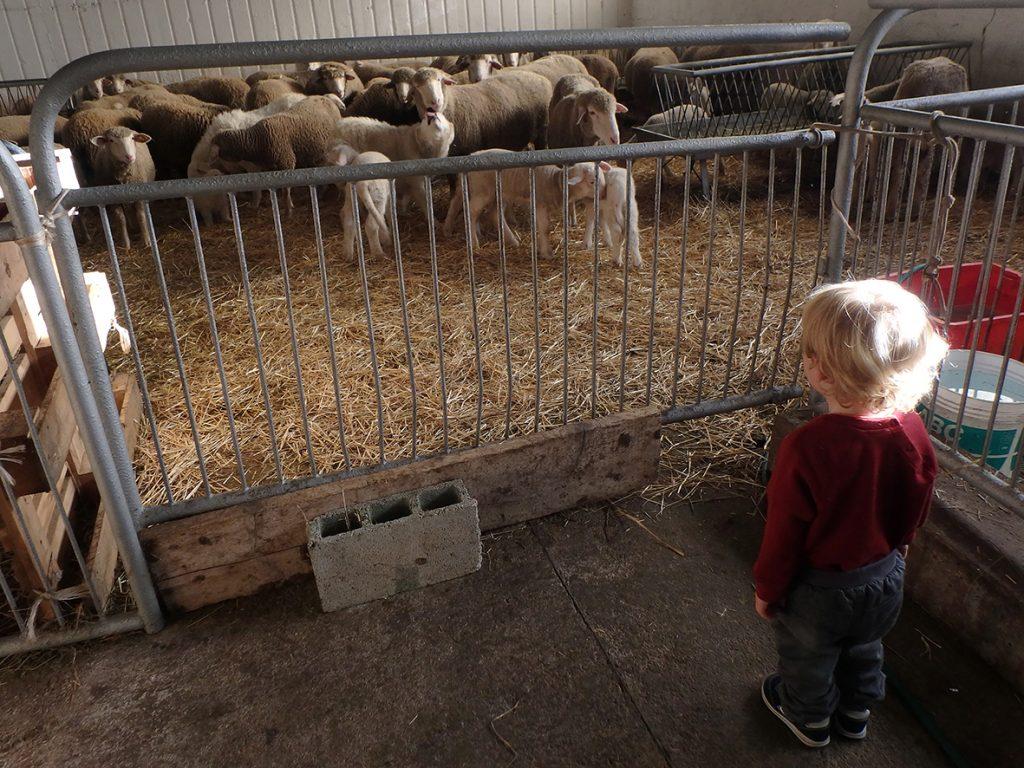 Incontri ravvicinati: pecore e bambini