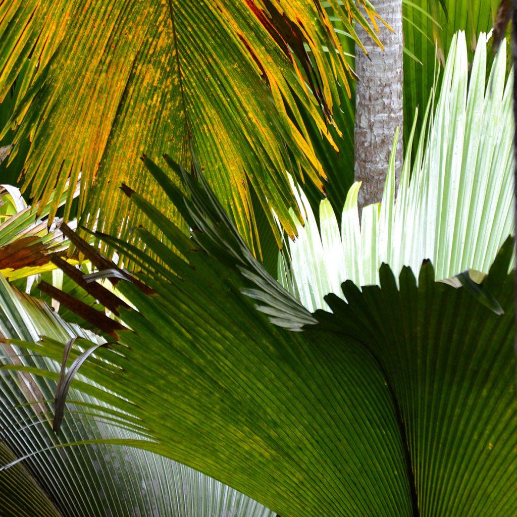 Coco de Mer che si possono ammirare nella Vallèe de Mai, a Praslin.