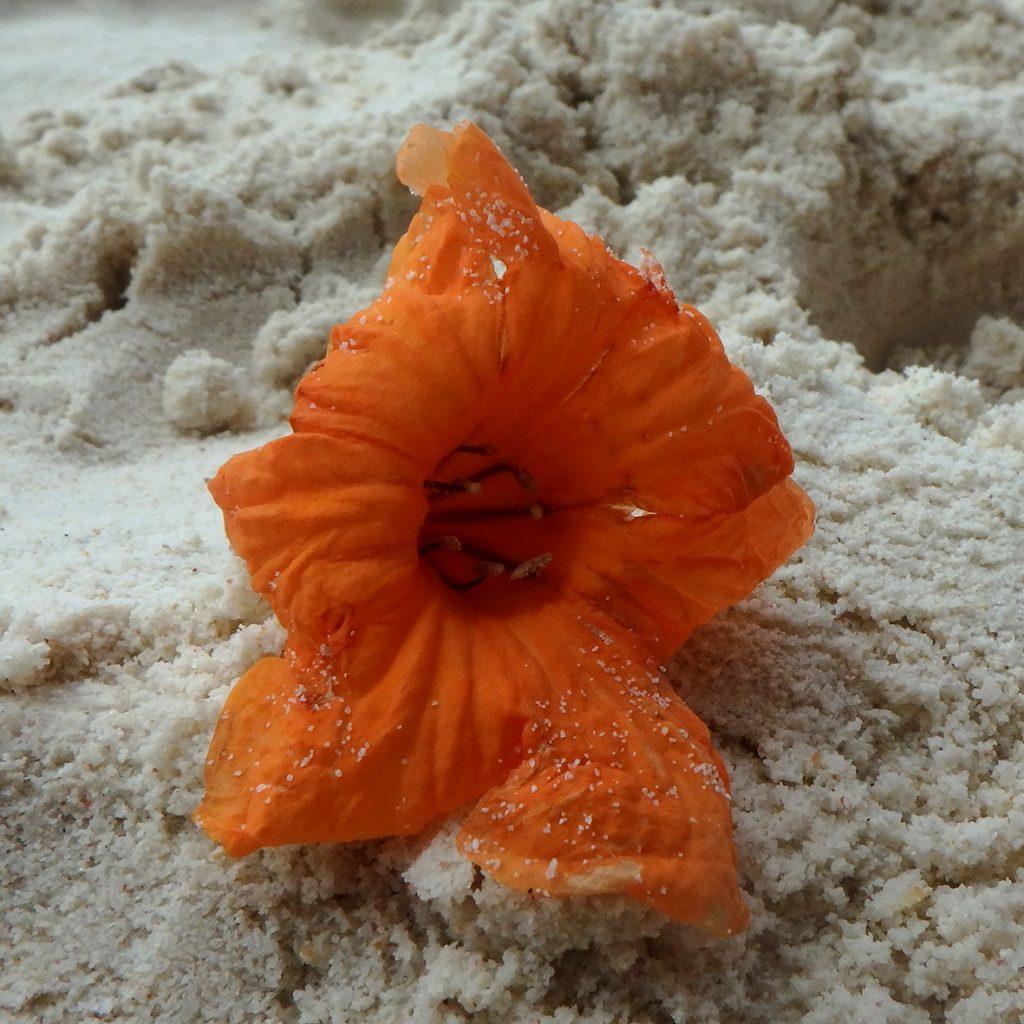 La Seychelles impressionano anche per la bellezza delle piccole cose: come questi fiori sulla battigia