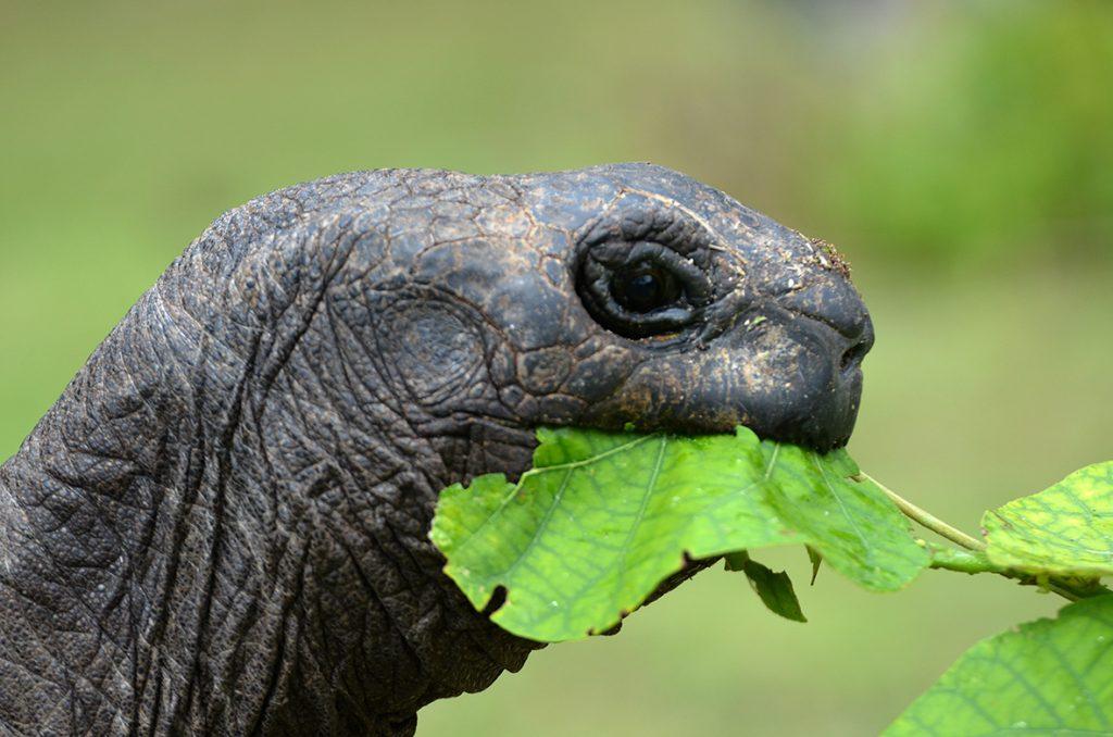 La tartaruga di Aldabra: il più amato animale delle isole Seychelles