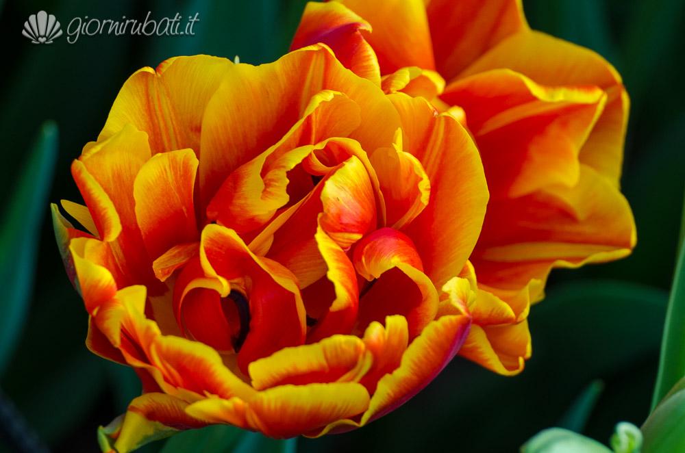 come visitare il keukenhof, sinfonia di tulipani
