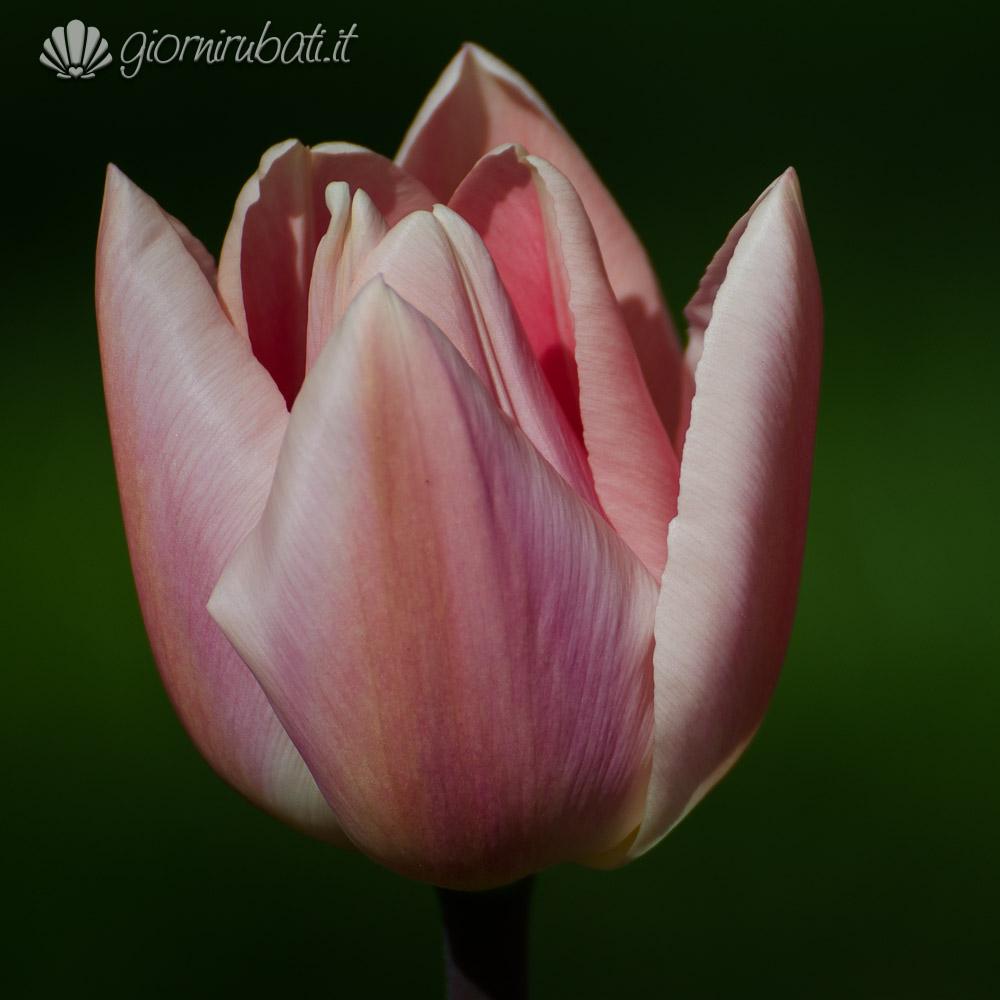 particolare di un tulipano, keukenhof, Olanda