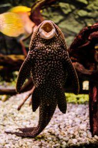 pesce pulitore-foto di Maria Bianca Porfido