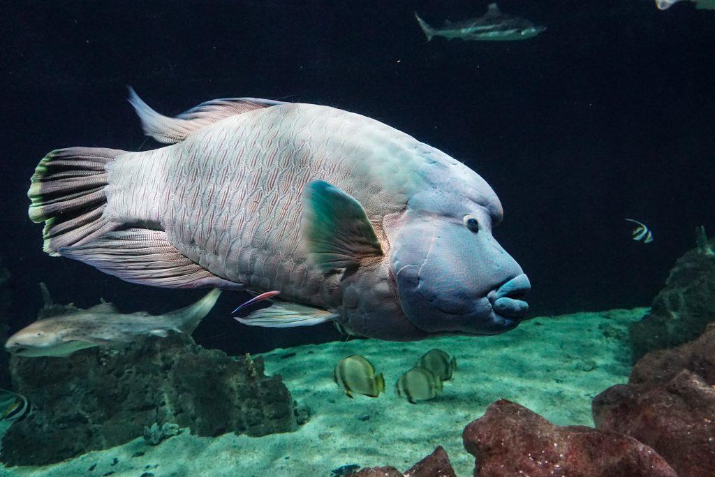 acquario-livorno-pesce-Napoleone