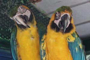 Guadalupe orto botanico pappagalli pappagalli