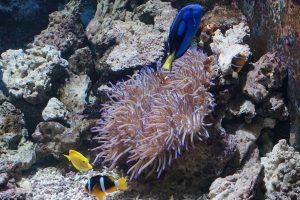 Barriera corallina, pesci pagliaccio
