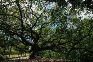 Veduta della quercia delle streghe