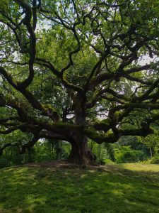 cosa vedere a Capannori: la quercia delle streghe